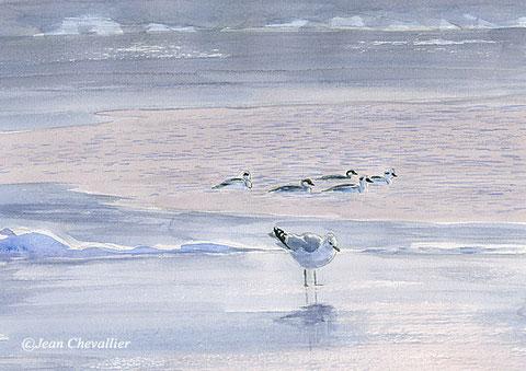 harles et goéland cendré (mergus albellus, larus canus) aquarelle Jean Chevallier