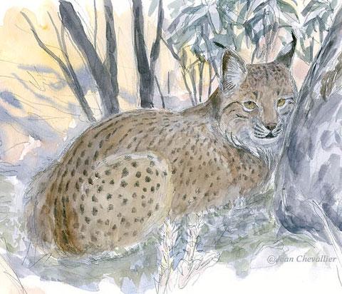 el lince lynx pardinus aquarelle Jean Chevallier