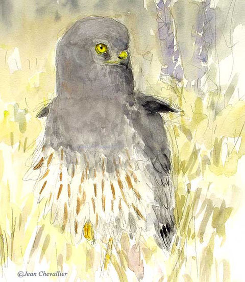Busard cendré ,aquarelle jean Chevallier