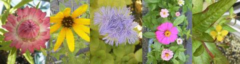 (スペインの友人から送られた種から育った花たち)
