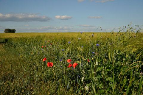 Coquelicot et bleuet en lisière d'un champ de blé - Frozes (86) - 14/05/2011