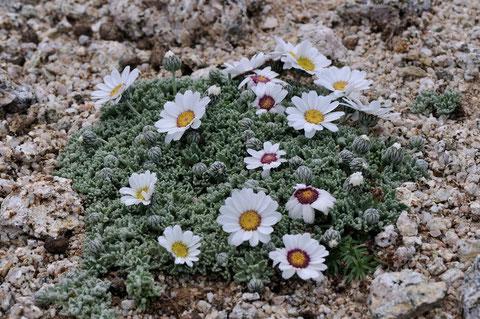 Marguerite laineuse - Massif du Monte Rinosu - 7 juillet 2013