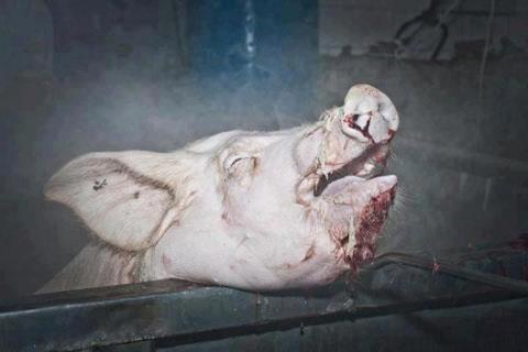 Schwein -  aufgewacht in der Brühung