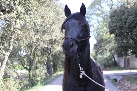 etalon noir mountain horse a vendre for sale