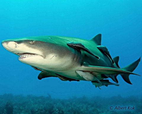 Le plus beau contact a été avec un requin citron qui m'a coulé par deux fois en essayant de m'enlever une carangue accrochée à ma ceinture...