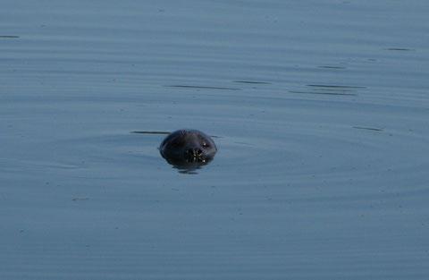 Les phoques sur 3 continents mais jouer avec eux en Nll Zélande reste le + beau souvenir d'apnée