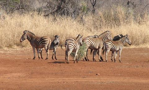 Les animaux les plus malins de la savane... hyper difficile à approcher.