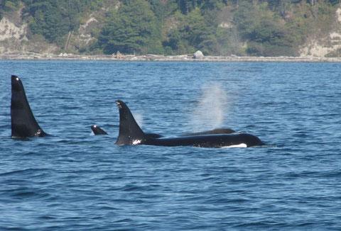"""les orques dans l'état de Washinton avant d'aller """"taquiner"""" ceux de ll'Alaska..."""