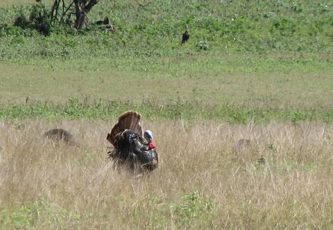 dindons sauvages chassés sur deux continents et toujours aussi difficiles à approcher !