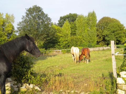 Elevage de chevaux de couleur dans les deux sevres