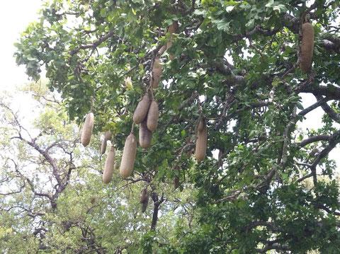 Leberwurstbaum - lecker