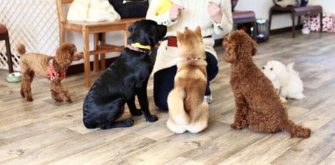 犬が並んでオスワリフセ チワワ ペキニーズ シーズー