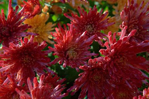 Les chrysanthèmes,  famille des Asteraceae