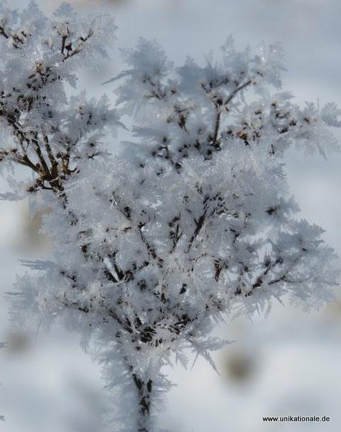 Schneekristallgras