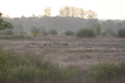 Schwarzwild in den Morgenstunden, Christian Katt