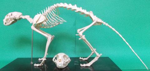 ネコ:全身骨格模型と頭蓋骨