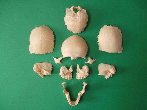 現代人頭蓋骨分解模型