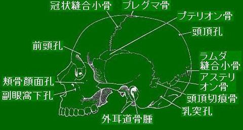 頭蓋骨左側面観[Berry & Berry (1967)を改変]