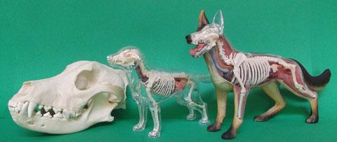 時系列出土獣骨報告:イヌ(犬)頭蓋骨・イヌ(犬)模型・イヌ(犬)模型[左から]