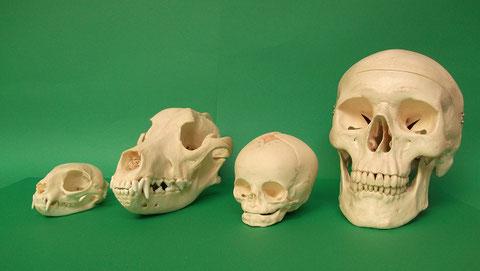 頭蓋骨標本:現生ネコ(猫)頭蓋骨・現生イヌ(犬)頭蓋骨・現代人胎児頭蓋骨模型・現代人男性頭蓋骨模型