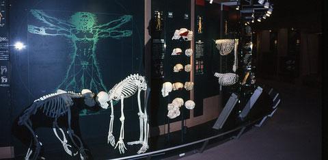 1996年10月に開館した群馬県立自然史博物館・常設展示Dコーナー「自然界におけるヒト」