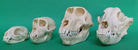 現生動物頭蓋骨標本