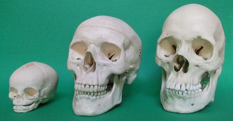 現代人頭蓋骨模型