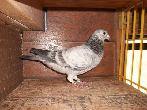 AU 15 OCALA 1170 - Website of merrickpigeons!