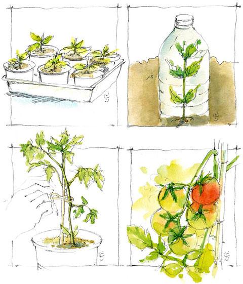 Etude de gestes pour la culture de la tomate