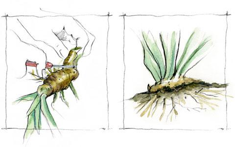 Division et replantation des iris