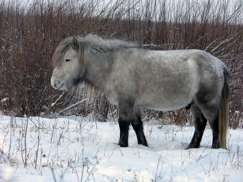 Якутская лошадь. Фото Виталий Сундеев