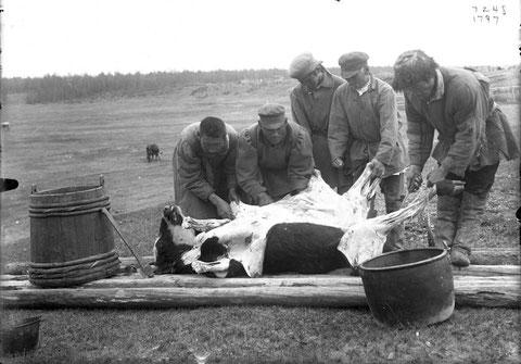 Якуты разделывают тушу коровы. В.И. Иохельсон