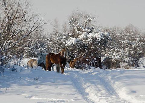 Якутские лошади. Фото Айар Варламов