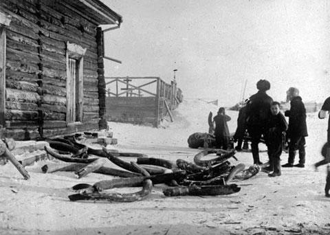 Доставка мамонтовой кости. Исторический снимок. Якутия