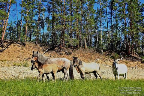 Якутские лошади. Фото Алексей Жебриков