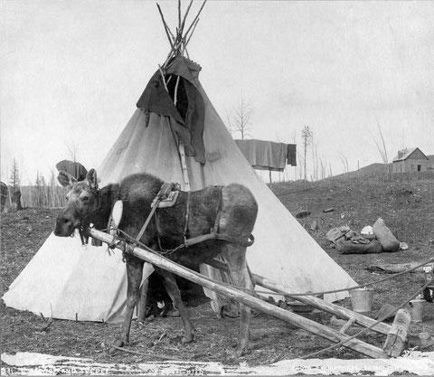 Рабочий лось у индейского вигвама