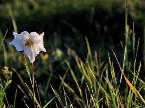 Летние цветы. Якутия. Фото Айар Варламов