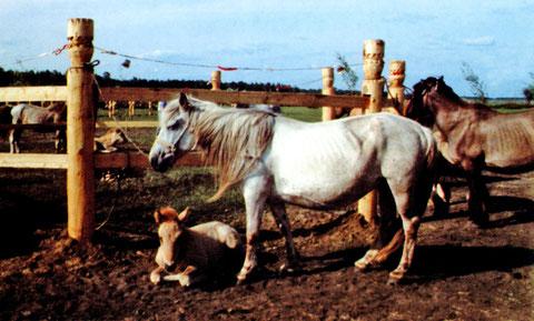 Якутские кони. Фото А.В. Назарова