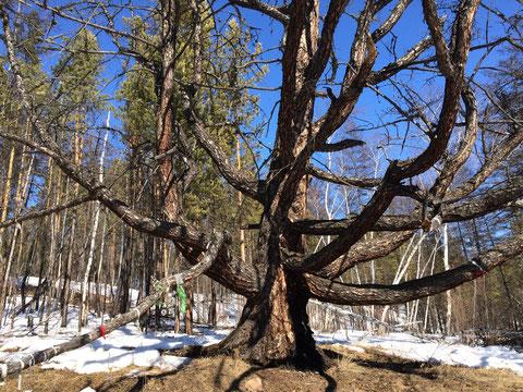 Кильдямское шаман-дерево туру. Здесь проходил аартык-путь кильдямских шаманов. По пути было несколько туру. Дерево это не для семейного фотографирования.