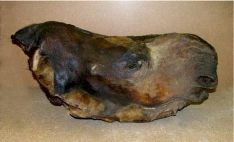 Голова ископаемого носорога. Зоологический музей РАН (Санкт-Петербург)