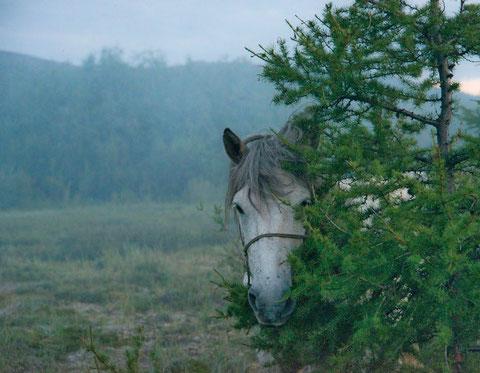 Якутская лошадь. Фото Айар Варламов. YakutiaPhoto.com