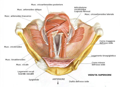 Le corde vocali