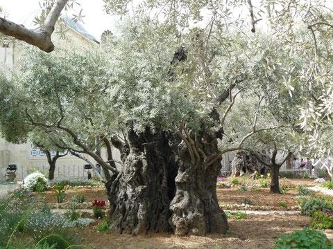 Olivos milenarios en Getsemaní