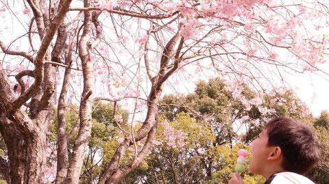 桜を見ながら団子を食べる子供の写真フリー素材 Pictures of children eating dumplings while watching the cherry blossoms Free material