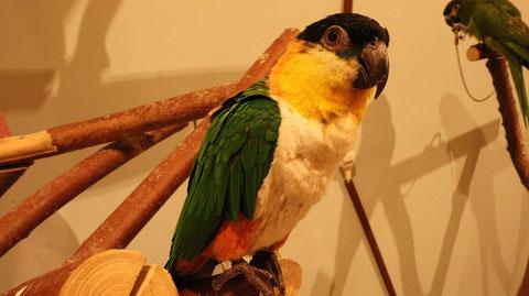 鳥、インコ、シロハラインコ、動物の写真フリー素材 Birds, Parakeets, White-bellied Parrots, Animals Photos Free Material