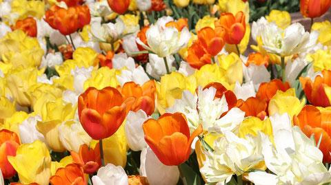 赤い色、白色、黄色のチューリップ畑の写真フリー素材 Red, white, yellow tulip field photo free material