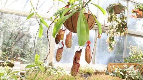 ウツボカズラ、ウツボット、植物フリー素材 Nepenthes, Victreebel, plant-free materials