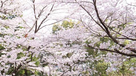 春の山と桜の写真フリー素材 Spring Mountains and Cherry Blossoms Photos Free Material