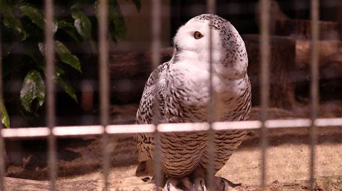 ふくろう、シロフクロウ、鳥、動物園、動物の写真フリー素材 Owls, Snowy Owls, Birds, Zoos, Animals Photos Free Material
