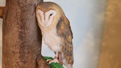 メンフクロウ、ベふくろう、梟、フクロウ、鳥、動物の写真フリー素材 Barn Owl,  Indian Eagle, Bird, Animal Photos Free Material